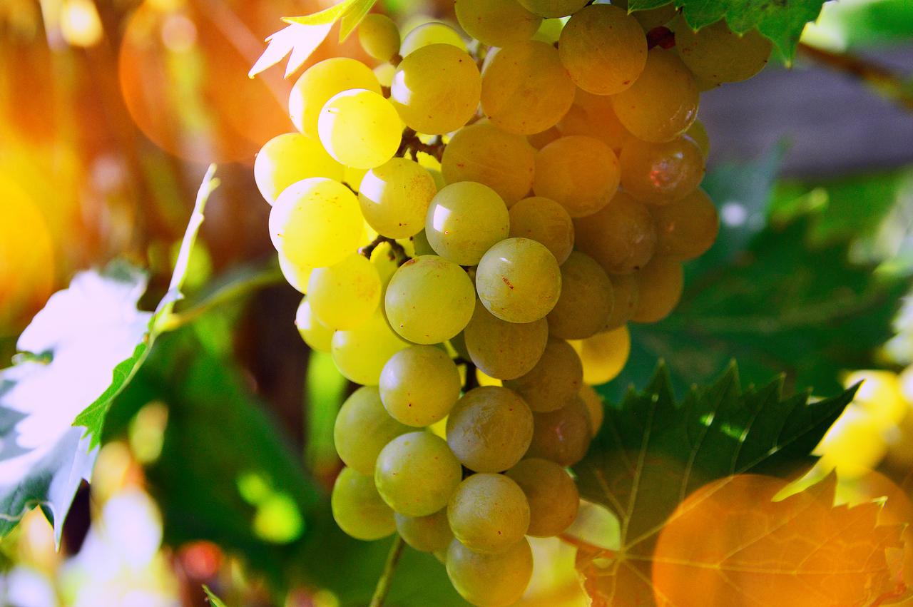 raisin chasselas à Moissac